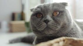 конец вверх Красивый шотландский кот створки лежит на windowsill акции видеоматериалы