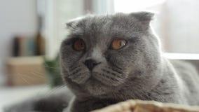 конец вверх красивый шотландский кот створки охлаждает на windowsill видеоматериал