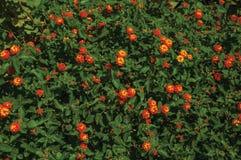 Конец-вверх красочных цветков на толстом кусте, в солнечном дне на Caceres стоковые изображения rf
