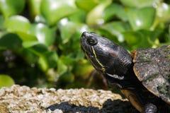 Конец-Вверх покрашенной черепахи грея на солнце во Флориде стоковая фотография rf
