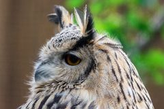 Конец вверх по евроазиатской стороне bubo Bubo сыча орла с оранжевым глазом стоковые фотографии rf