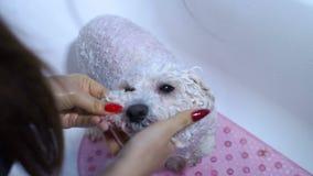 Конец-вверх девушки купая ее собаку в bathroom Забота для собаки Bichon Frise видеоматериал