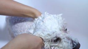 Конец-вверх девушки купая ее собаку в bathroom Забота для собаки Bichon Frise сток-видео