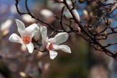 Конец-вверх цветков магнолии стоковые изображения rf