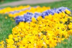 Конец-вверх цветков pansy стоковые фотографии rf