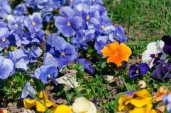 Конец-вверх цветков pansy стоковое изображение
