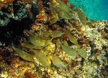 Конец-вверх рыб sarpa salpa стоковые изображения rf