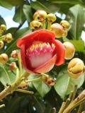 Конец-вверх guianensis couroupita цветка дерева пушечного ядра, обильного цветка, с бутонами стоковые изображения