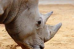 Конец носорога главный вверх в зоопарке в Баварии стоковые изображения rf