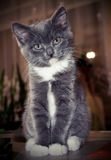 Кошки. Kitten on hands, looking at the frame, legs folded, gray fluffy royalty free stock photography