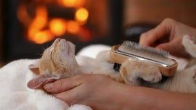 Котенок наслаждается животом меха чистя щеткой лежа вверх на камине сток-видео