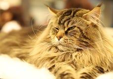 Кот, красивый портрет чистоплеменного кота стоковые изображения rf