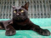 Кот с черным телом, лежать ослабленный на конкретном поле стоковые изображения rf