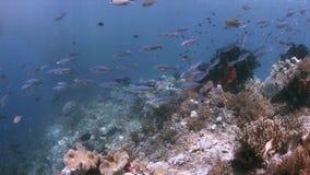 Коралловый риф в радже Ampat, Индонезии 4k сток-видео