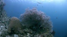 Коралловый риф Ampat Индонезии раджи с большими вентиляторами моря 4k сток-видео