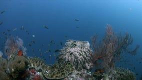 Коралловый риф Ampat Индонезии раджи с большими вентиляторами моря 4k видеоматериал