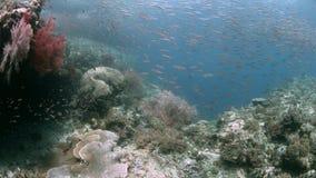 Коралловый риф Ampat Индонезии раджи со школой чешуйниц 4k акции видеоматериалы