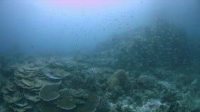 Коралловый риф 4k Ampat Индонезии раджи здоровый видеоматериал