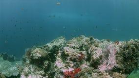 Коралловый риф 4k Ampat Индонезии раджи красочный сток-видео