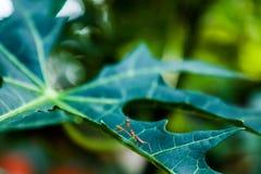Коричневый цвет mantis младенца стоковое фото rf