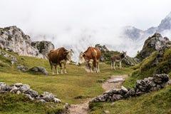 Коровы в итальянских доломитах увиденных на Col Подъемнике пешей тропы, Италии стоковая фотография rf
