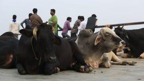 Коровы отдыхая в ghat сток-видео