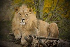 Король животных стоковая фотография