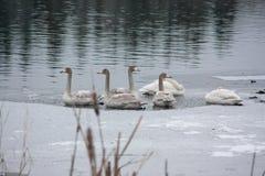 Ландшафт спокойствия зимы на реке с белые лебеди на льде Финляндия, река Kymijoki стоковое изображение rf