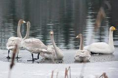 Ландшафт спокойствия зимы на реке с белые лебеди на льде Финляндия, река Kymijoki стоковое фото