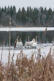 Ландшафт спокойствия зимы на реке с белые лебеди на льде Финляндия, река Kymijoki стоковая фотография rf