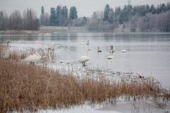 Ландшафт спокойствия зимы на реке с белые лебеди на льде Финляндия, река Kymijoki стоковые изображения rf