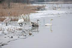 Ландшафт спокойствия зимы на реке с белые лебеди на льде Финляндия, река Kymijoki стоковые изображения