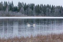 Ландшафт спокойствия зимы на реке с белые лебеди Финляндия, река Kymijoki стоковая фотография