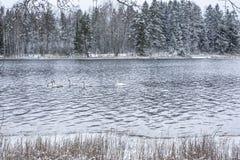 Ландшафт спокойствия зимы на реке с белые лебеди Финляндия, река Kymijoki стоковое изображение rf