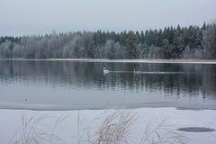 Ландшафт спокойствия зимы на реке с белые лебеди Финляндия, река Kymijoki стоковые изображения rf