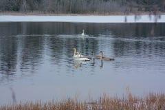 Ландшафт спокойствия зимы на реке с белые лебеди Финляндия, река Kymijoki стоковые изображения