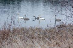 Ландшафт спокойствия зимы на реке с белые лебеди Финляндия, река Kymijoki стоковое фото