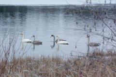 Ландшафт спокойствия зимы на реке с белые лебеди Финляндия, река Kymijoki стоковое изображение