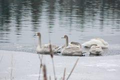 Ландшафт спокойствия зимы на реке с белыми лебедями спать на льде Финляндия, река Kymijoki стоковые изображения rf