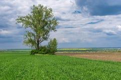 Ландшафт с аграрным полем урожаев и сиротливым деревом внутрь перед грозой стоковые изображения