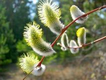 Ладонь воскресенье Цветя верба в естественных условиях Желт-белые бутоны вербы в конце-вверх цветня стоковое фото rf