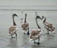 Лебеди тундры идут на пляж рядом с чайками стоковые фотографии rf