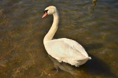 Лебедь на озере в дикой природе стоковое фото rf