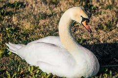 Лебедь отдыхая в парке стоковое изображение