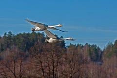 Лебедь whooper 2, летание cygnus Cygnus стоковые изображения