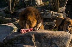 Лев ест часть мяса стоковые фото
