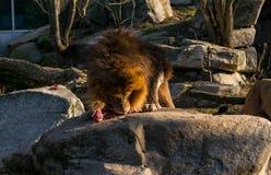 Лев ест часть мяса стоковые изображения rf