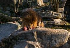 Лев ест часть мяса стоковое фото