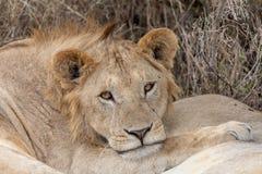 Лев спать в злаковиках на Masai Mara, Кении Африке стоковая фотография