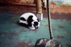 Лемур на зоопарке стоковое изображение
